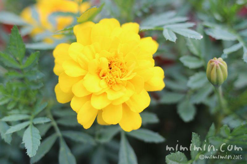 黄色のマリーゴールドの花の画像