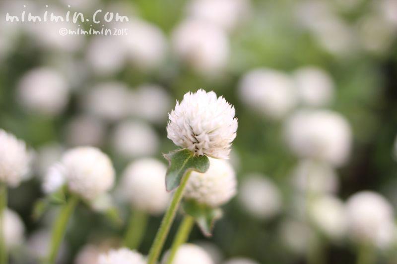 白いセンニチコウの花の写真