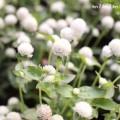 満開の白いセンニチコウの写真