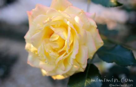 黄色のバラの花