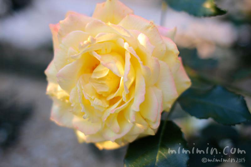 黄色のバラの花の写真