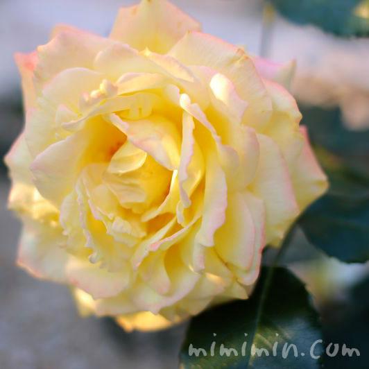 黄色のバラの写真14713