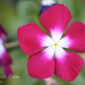 赤いニチニチソウ(日々草)の花の写真
