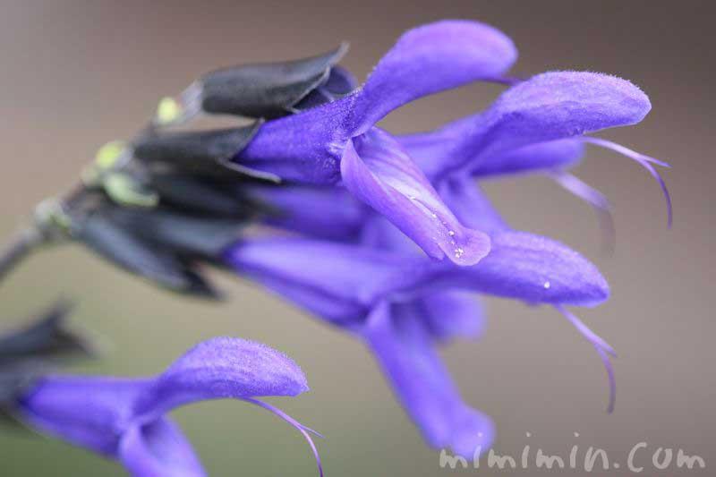 青紫色のサルビア・グアラニティカの画像