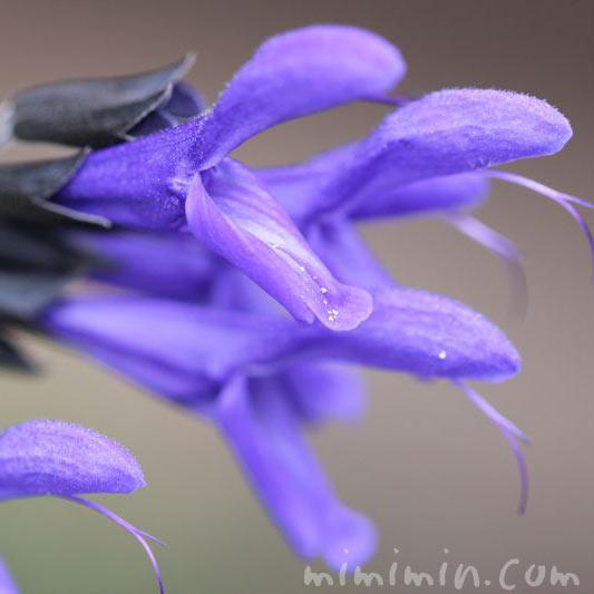 青紫色のサルビア・グアラニティカの花の写真
