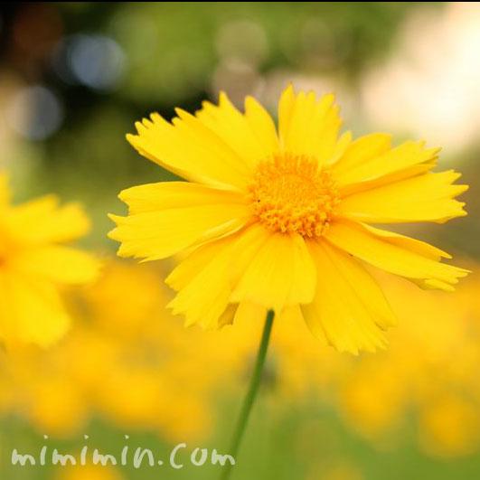 オオキンケイギクの花の写真6-20