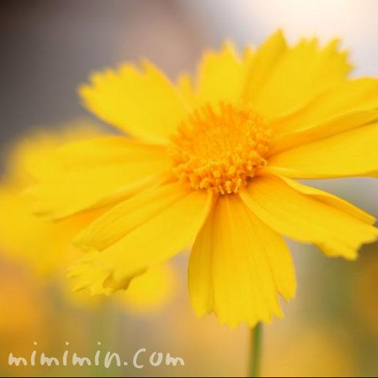 オオキンケイギクの花2の画像