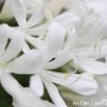 アガパンサス・白の写真