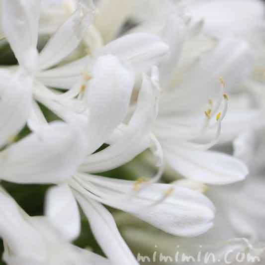 アガパンサスの花・白の写真