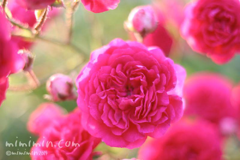 ピンク色のバラの写真