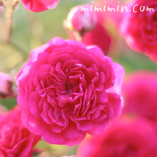 濃いピンクのバラの花の画像