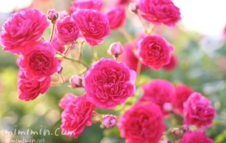濃いピンクのバラの写真2