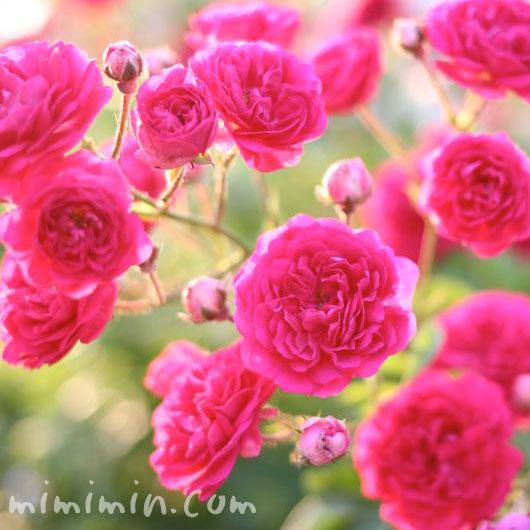 ピンクのミニバラの花の画像