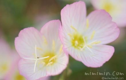 ヒルザキツキミソウの花の写真