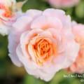 サーモンピンクのバラの画像