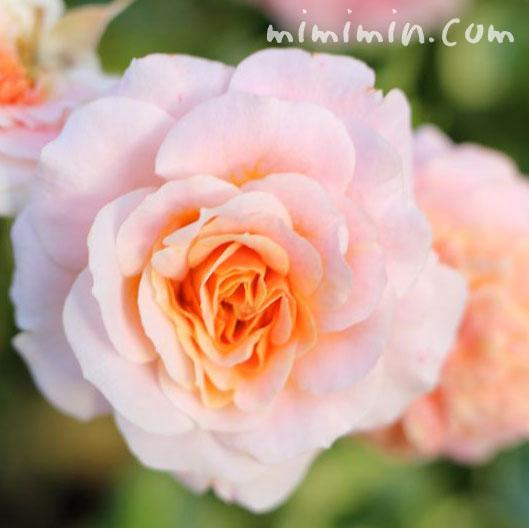 サーモンピンクのバラの花の写真