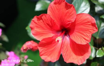 赤いハイビスカスの花の写真