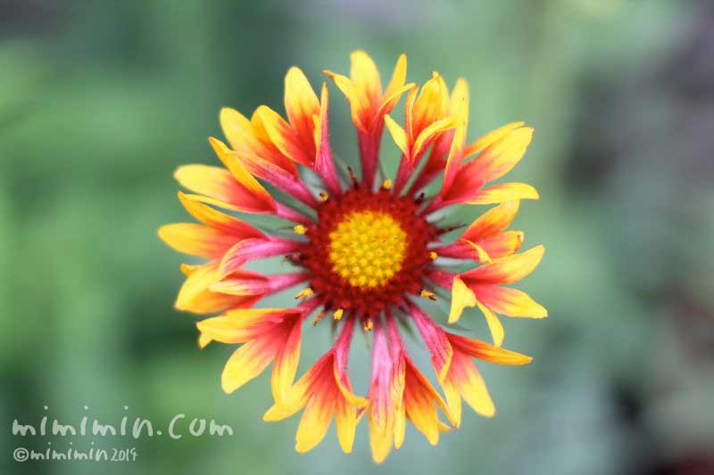 天人菊の花