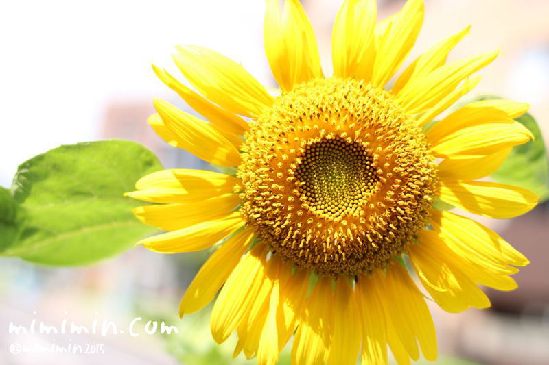 ひまわりの花の写真