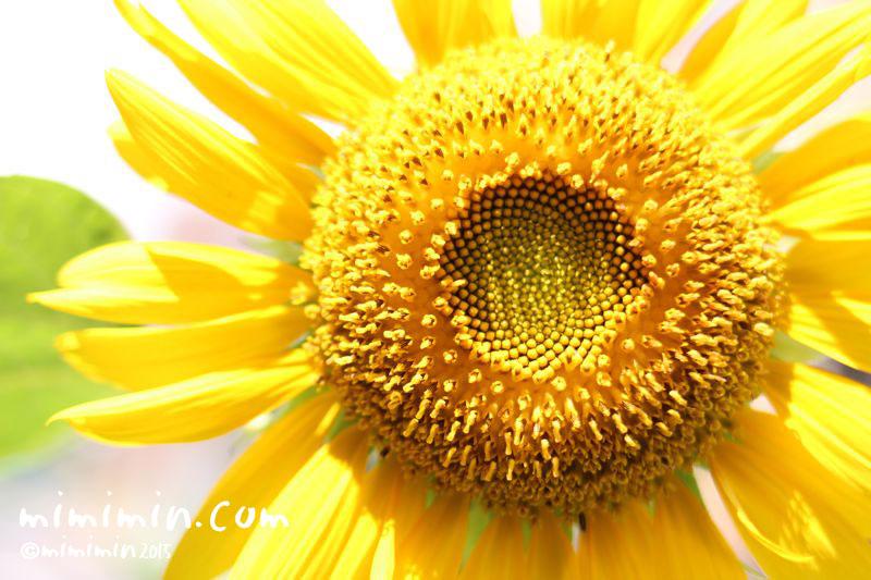 ひまわりの花のアップ写真