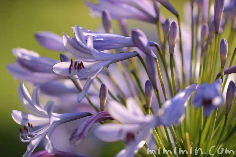 アガパンサスの花の写真・淡いブルー