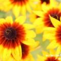 ルドベキアの花の写真