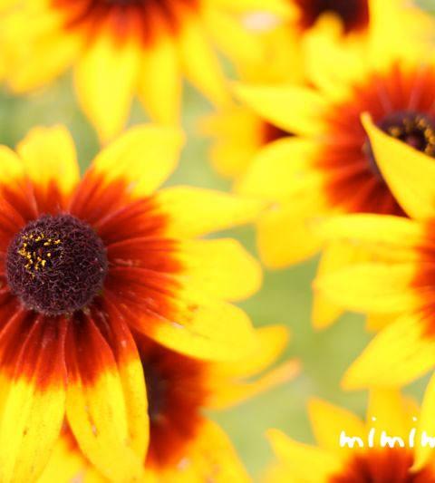 ルドベキアの花言葉・誕生花・花の写真
