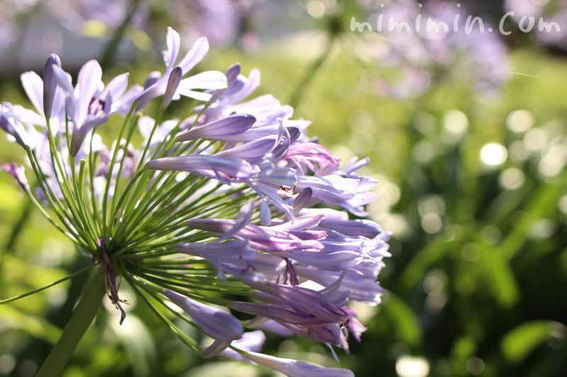 淡いブルーのアガパンサスの花の写真