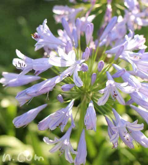 アガパンサスの花言葉・名前の由来・花の写真|紫君子蘭