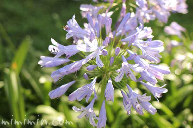 アガパンサス・青の写真