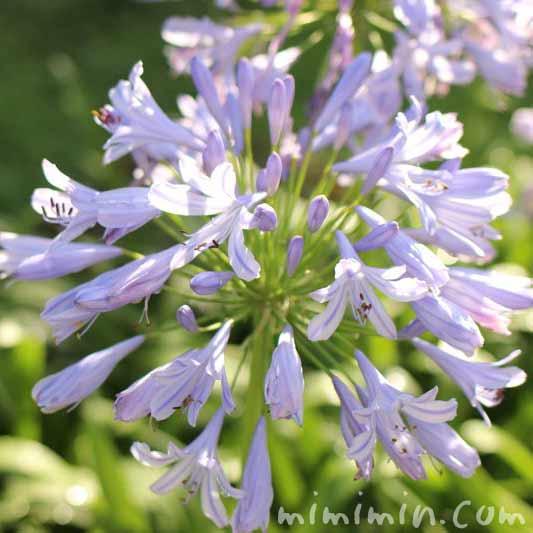 アガパンサスの花・ブルーの写真