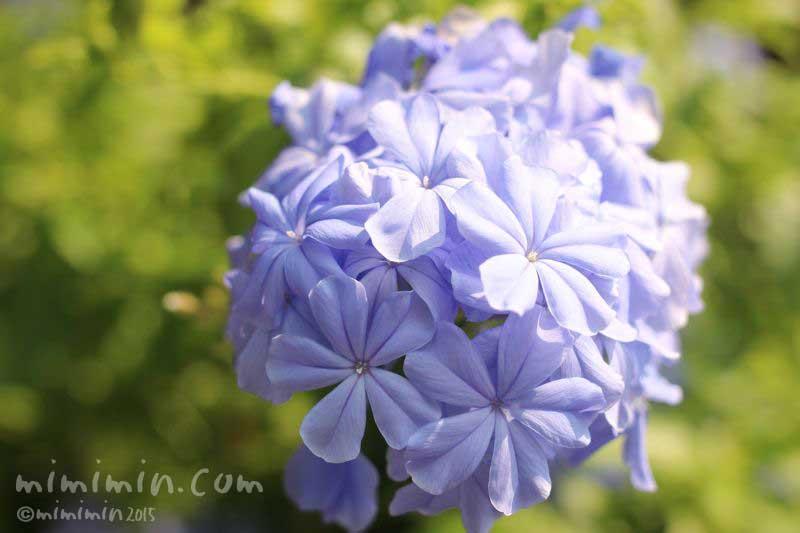 ルリマツリの花の写真