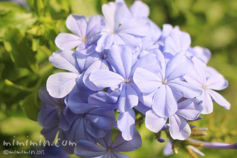 ルリマツリ(青)の画像