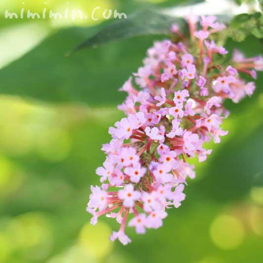 ブッドレア・ピンクの画像