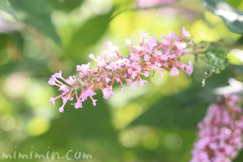 ピンクのニシキフジウツギの写真