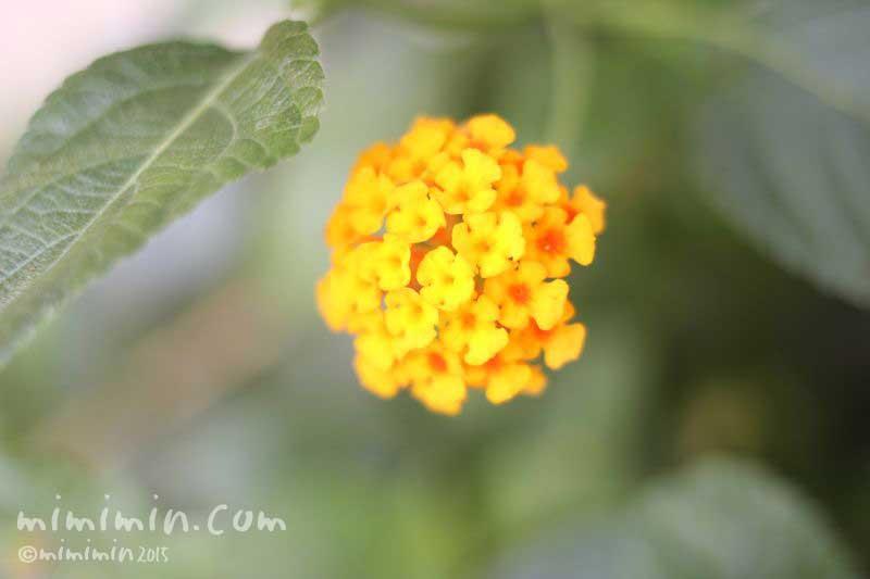 黄色いランタナの花の写真