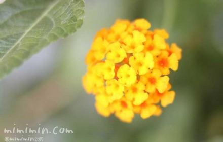 黄色いランタナの花の画像・写真