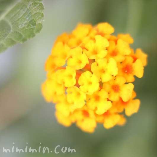 黄色いランタナの写真