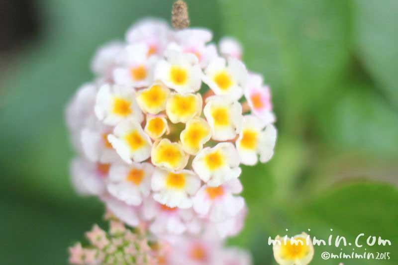 ランタナの花の写真・花言葉・名前の由来の画像
