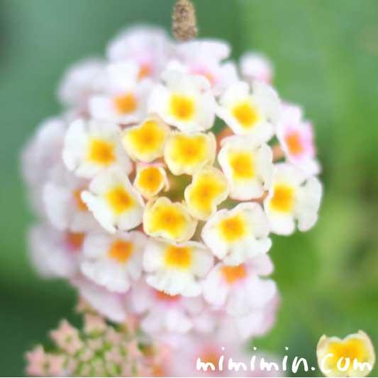 ランタナの花言葉・名前の由来・ランタナの写真
