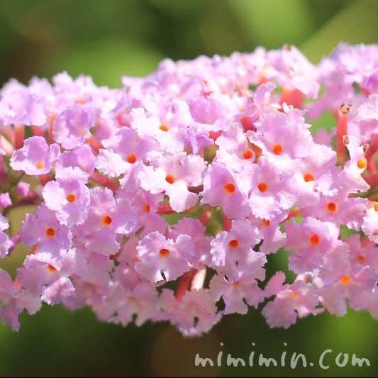 ブッドレア(ピンク)の画像