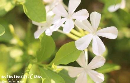 白いルリマツリの花の写真・花言葉・名前の由来