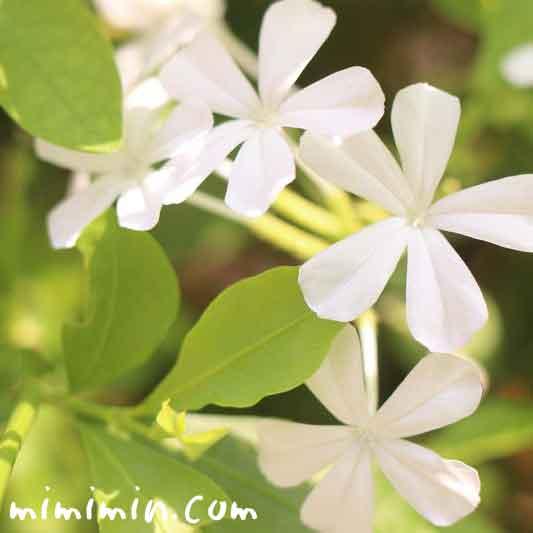 白いルリマツリの花の写真・花言葉
