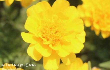 マリーゴールドの花の写真・花言葉・名前の由来