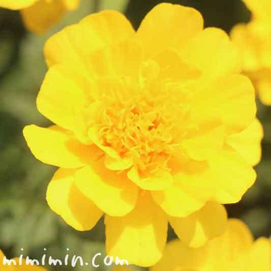 黄色いマリーゴールドの花の写真・花言葉・名前の由来