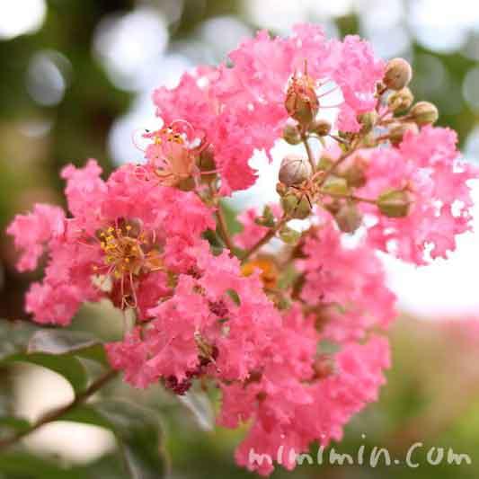 サルスベリの花言葉・名前の由来のイメージ画像