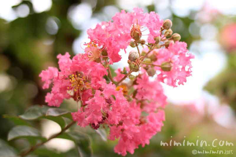 ピンク色のサルスベリの花の写真