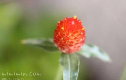 キバナセンニチコウ・ストロベリーフィールドの花の写真(14-819)
