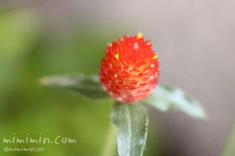 ストロベリーフィールドの花・キバナセンニチコウの写真