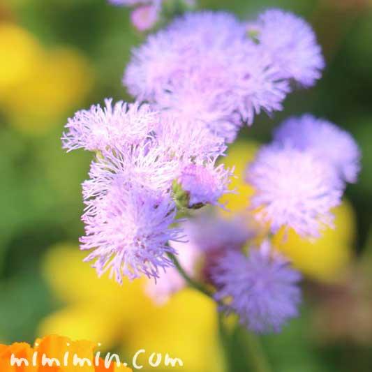 アゲラタム(オオカッコウアザミ)の花の画像